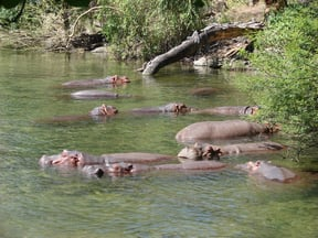 Hippos relax in the lower pool at Mzima Springs