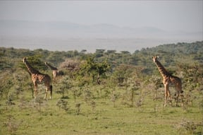 Naboisho Conservancy Accommodation