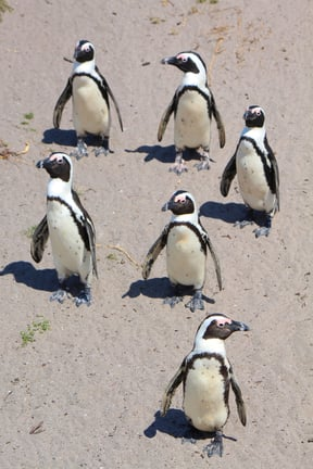 Penguin Colony near Hermanus