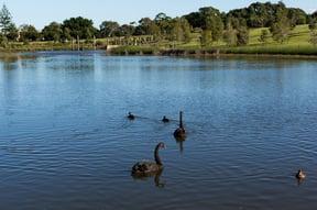 Sydney Park Swans