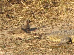 Crocodile Stalking Bird At Lake Panic, Kruger