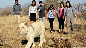 This amazing experience will allow you to walk and interact with young lions in their natural habitat. Our trained guides will show you how to safely interact with the lions and share all their knowledge with you as you walk for 45min. Our professional photographers will capture this once in a lifetime adventure. No persons allowed under the age of 16. Lion Walks depart 10:00, 15:00 and 17:00.