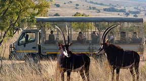 On this thrilling 1.5 hour mini safari drive will see all our predators - lions, hyenas, wild dogs and leopards. Our knowledgeable guides will take you through the lion and wild enclosures, antelope safari area and to the three hyena species.