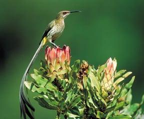 Kirstenbosch sugarbird