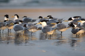 Swift Terns at Bird Island, Kommetjie Beach