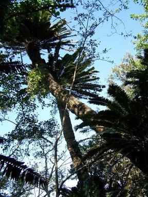 Modajdi Cycad Forest