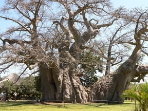 The giant Sunland Baobab stands leafless in winter
