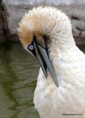 Gannet in rehabilitation