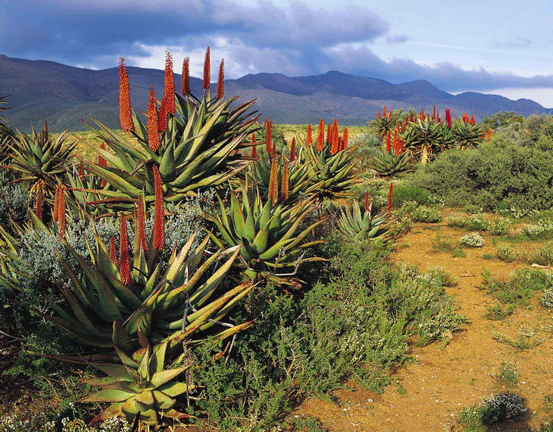Aloes near Cango Caves