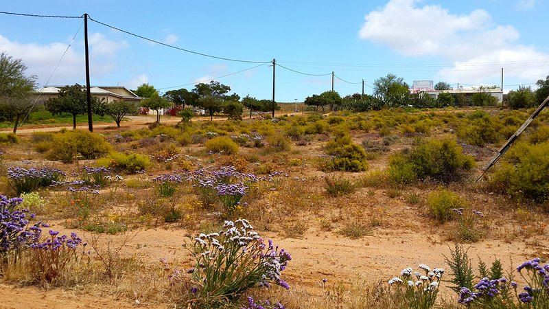 Late flowers in Bitterfontein