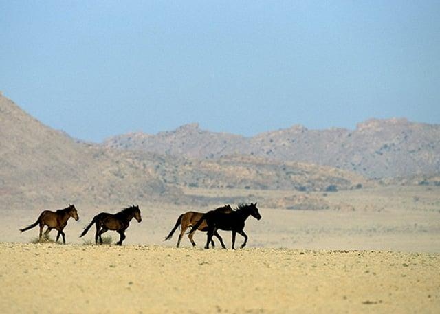 Desert horses near Aus