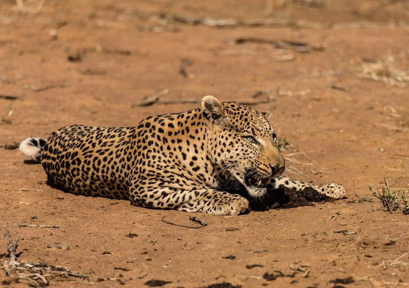 Leopard at Madikwe Game Reserve
