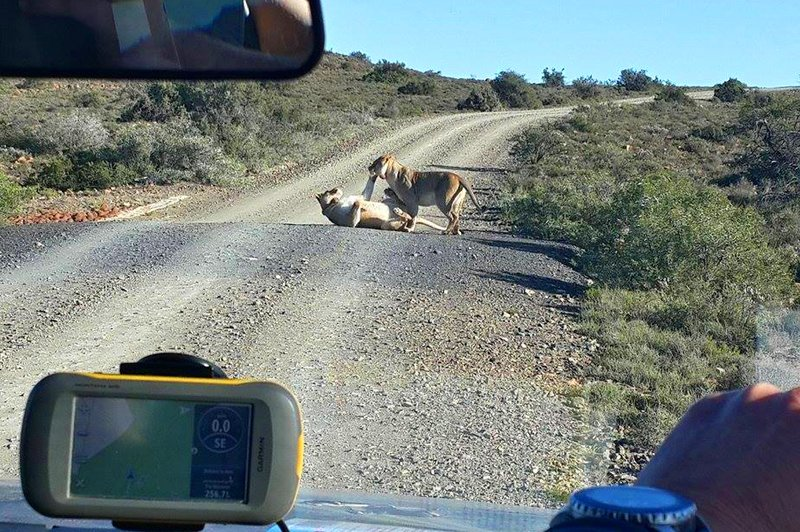 Lions in Karoo National Park