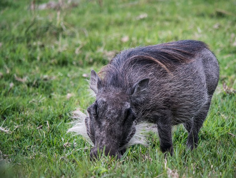 Warthog at Kragga Kamma Game Park