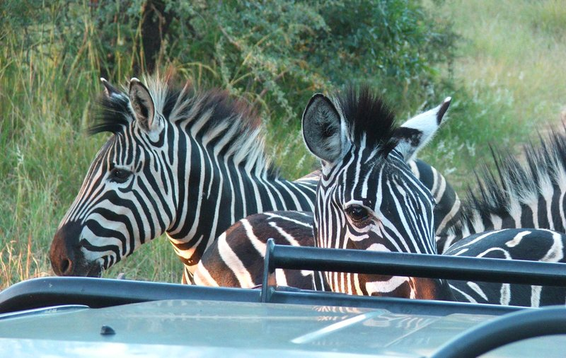 Zebras on game drive at Moholoholo Forest Camp