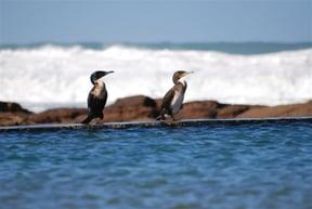 Cormorants at the tidal pool