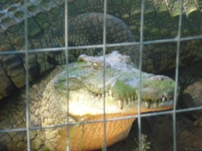 A close up of one of the smaller crocodiles to be seen at CrocWorld