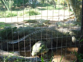 One of the crocodile ponds where the magnificent creatures are housed