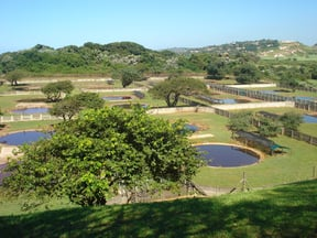 A view of the ponds where the baby crocodiles are raised